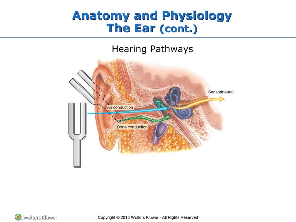 Fine Anatomy And Physiology Of Ear Nose And Throat Ppt Photos ...