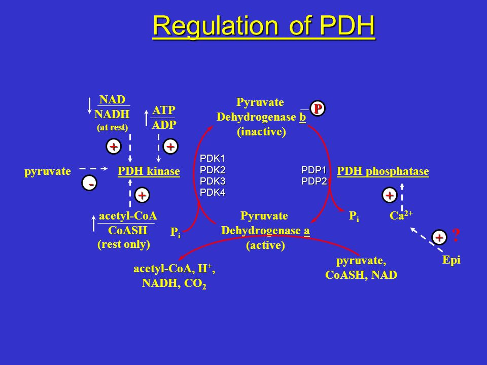 Regulation of PDH + + P - + + NAD NADH Pyruvate Dehydrogenase b