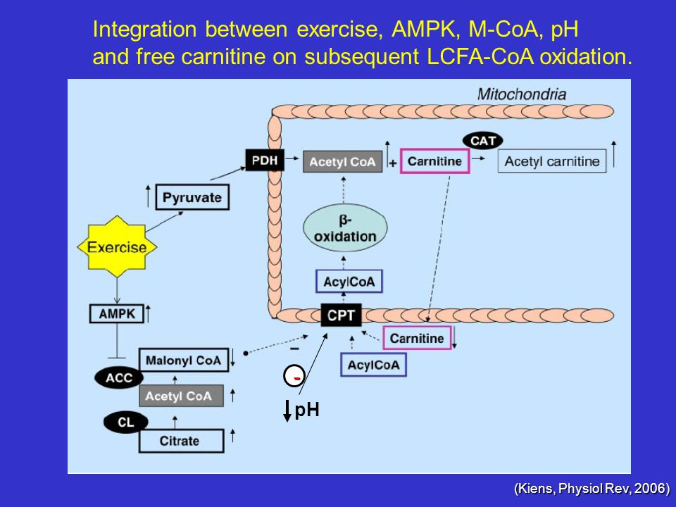 Integration between exercise, AMPK, M-CoA, pH