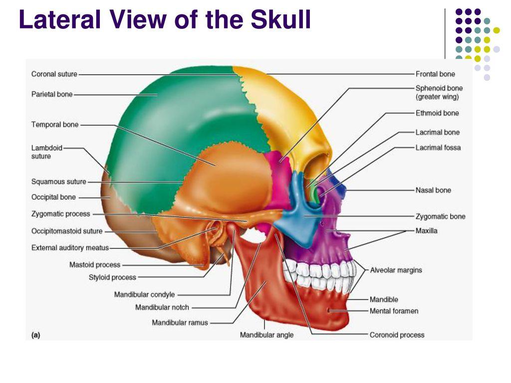 Skull Anatomy Ppt Choice Image - human body anatomy