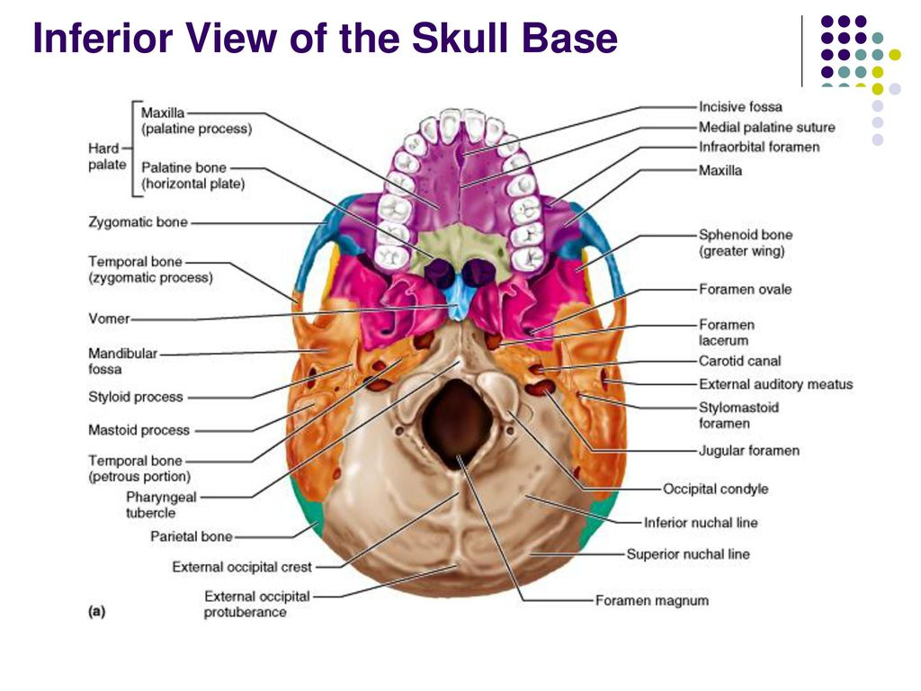 Anterior Skull Anatomy Choice Image Human Body Anatomy