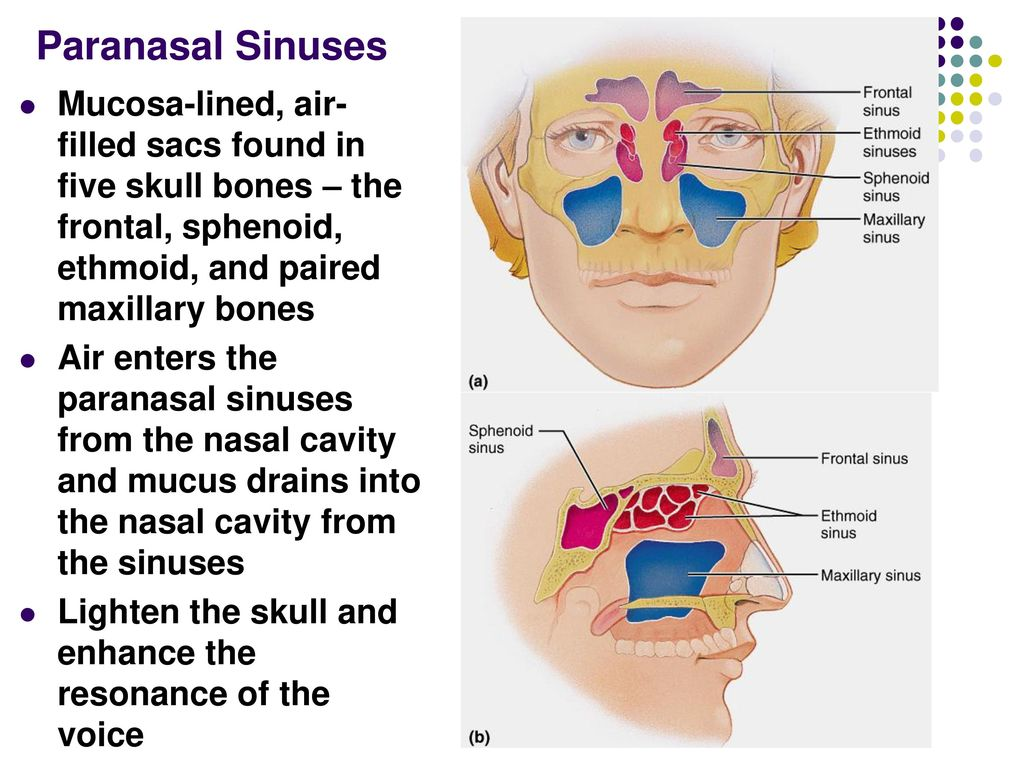 Amazing Sphenoid Sinus Anatomy Pattern - Human Anatomy Images ...
