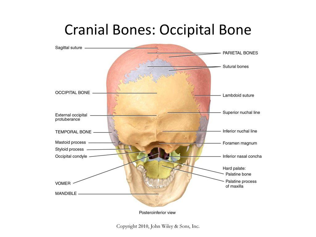 Funky Mandibular Condyle Anatomy Collection - Human Anatomy Images ...