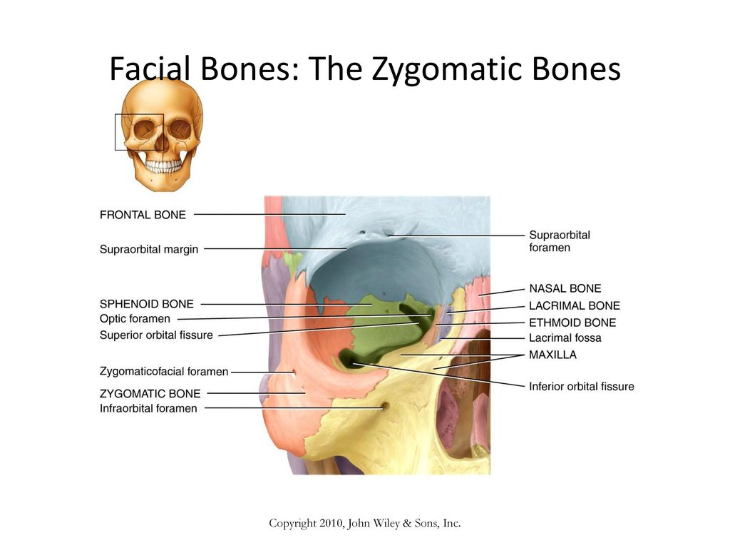 Modern Facial Bones Vignette - Physiology Of Human Body Images ...