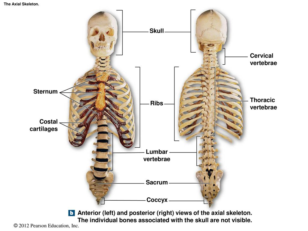 Funky Posterior Rib Anatomy Picture Collection - Human Anatomy ...