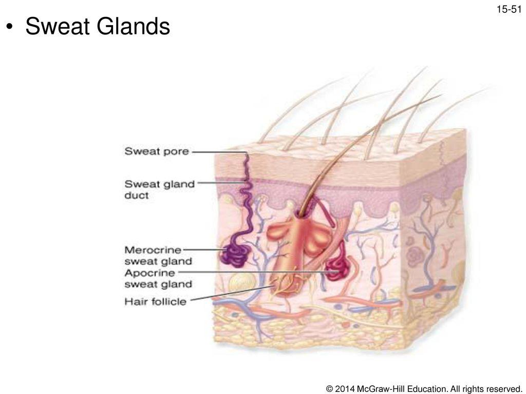 Gemütlich Chapter 15 Anatomy And Physiology Bilder - Anatomie Ideen ...