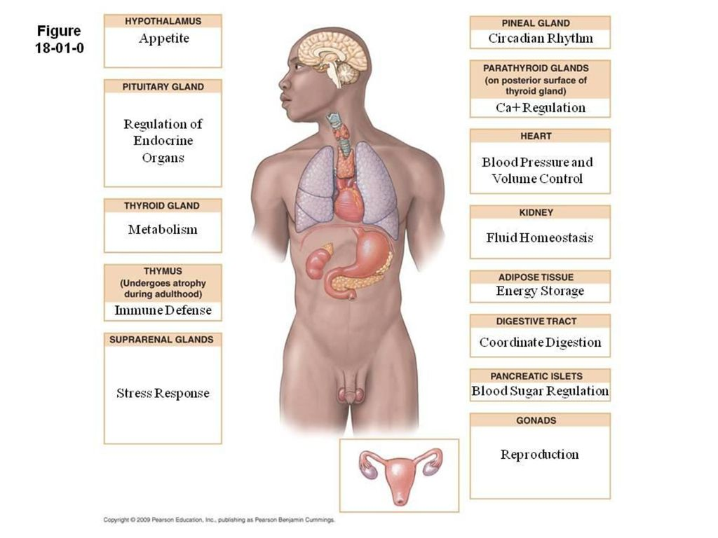 Beautiful Organs In The Endocrine System And Their Functions ...