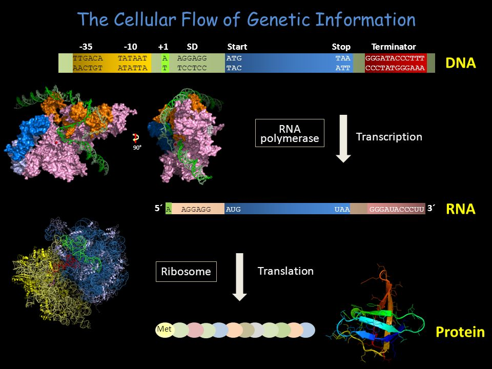 The Cellular Flow of Genetic Information