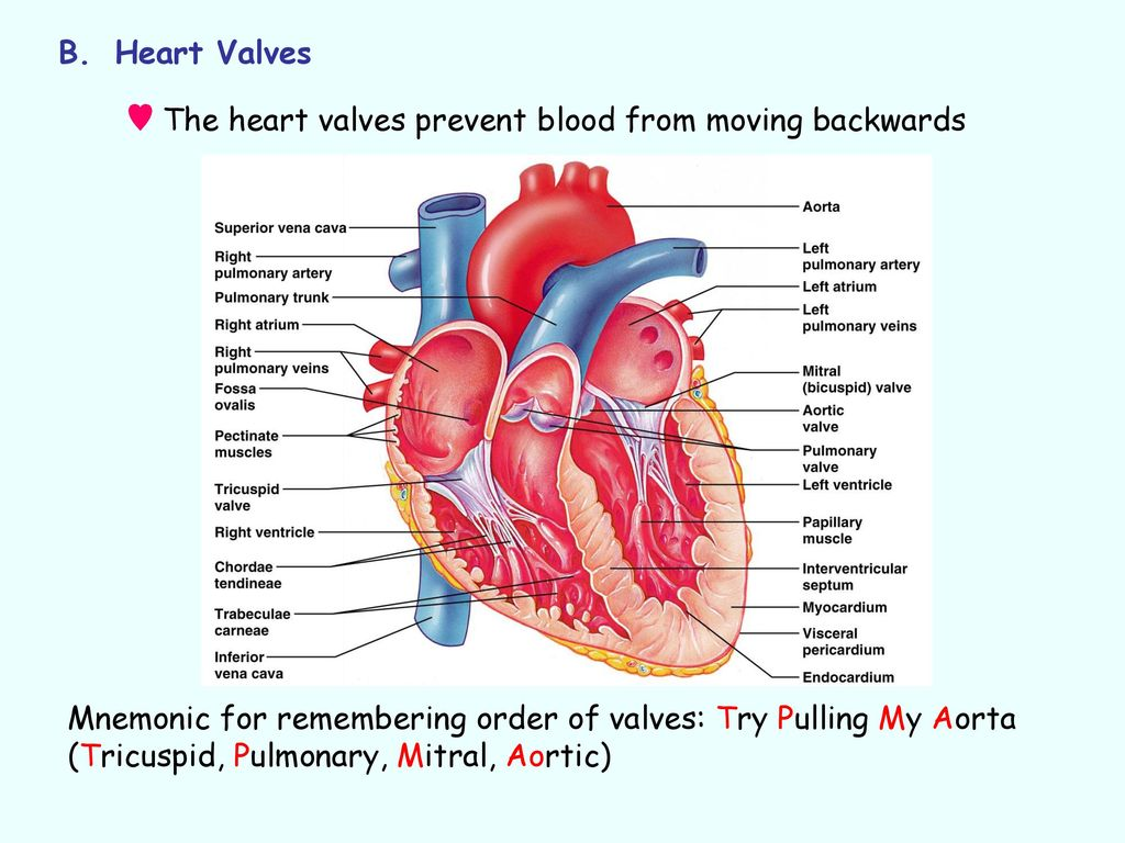 Dorable Anatomy Of The Aortic Valve Collection - Human Anatomy ...