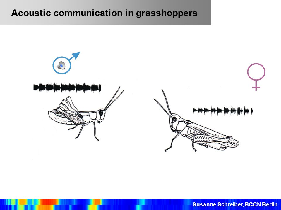 Acoustic communication in grasshoppers