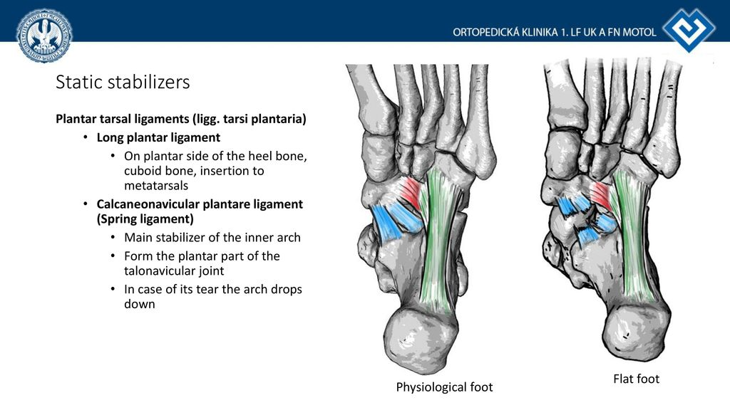 Fantastisch Foot Ligaments Anatomy Ideen - Menschliche Anatomie ...