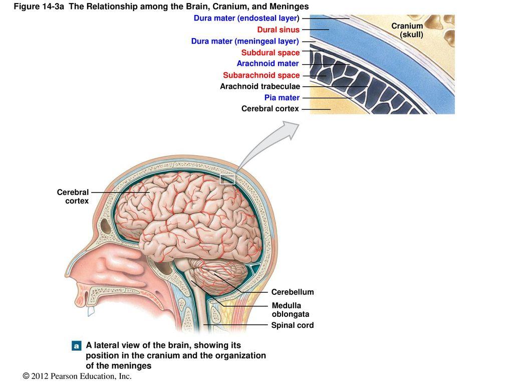 position cranialen meningen
