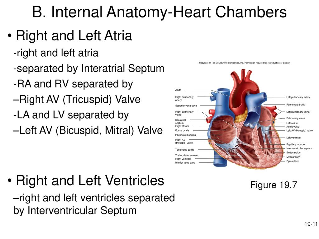 Fine Superior Heart Chambers Elaboration Physiology Of Human Body