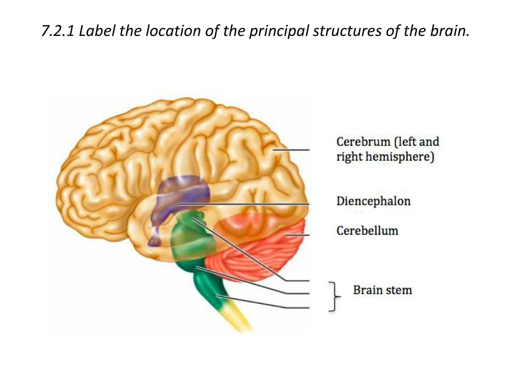 7.2.1 Label the location of the principal structures of the brain.