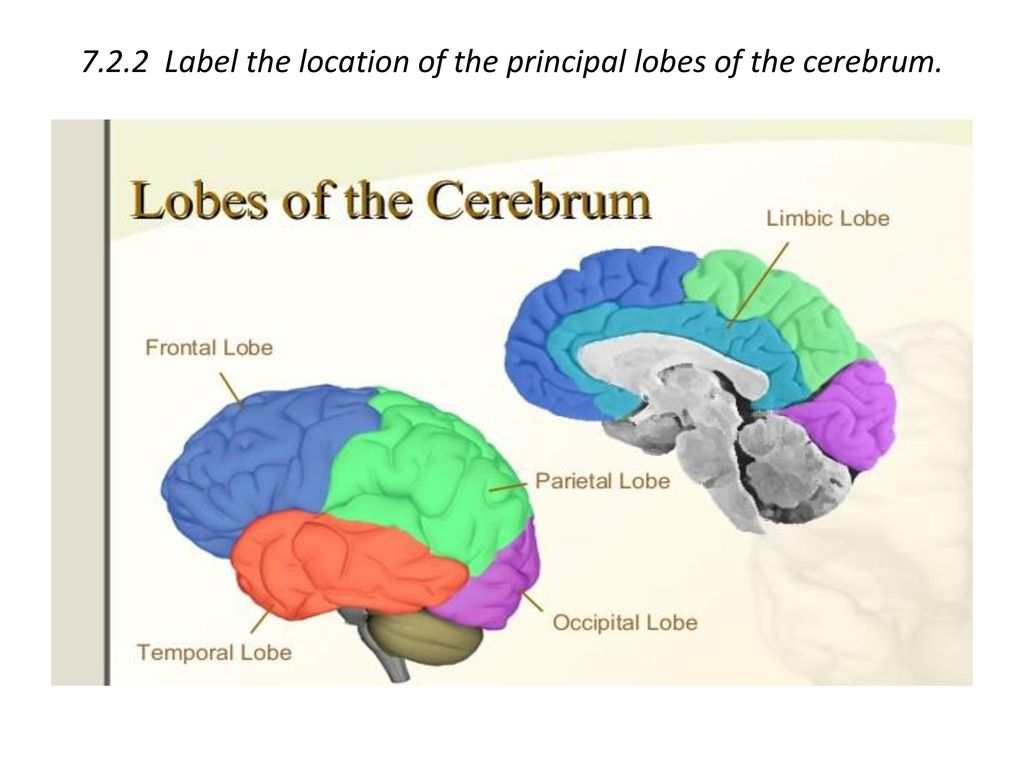 7.2.2 Label the location of the principal lobes of the cerebrum.