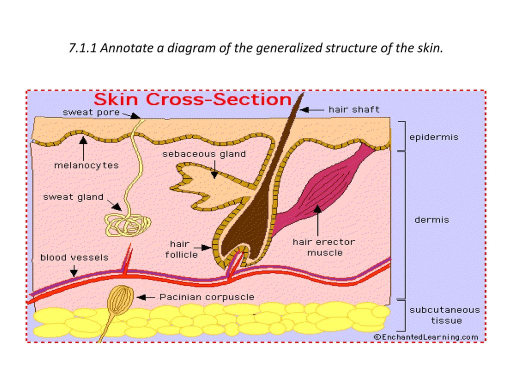 7.1.1 Annotate a diagram of the generalized structure of the skin.