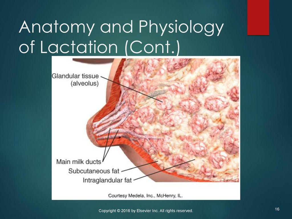 Exelent Anatomy And Physiology Of Breastfeeding Frieze - Physiology ...