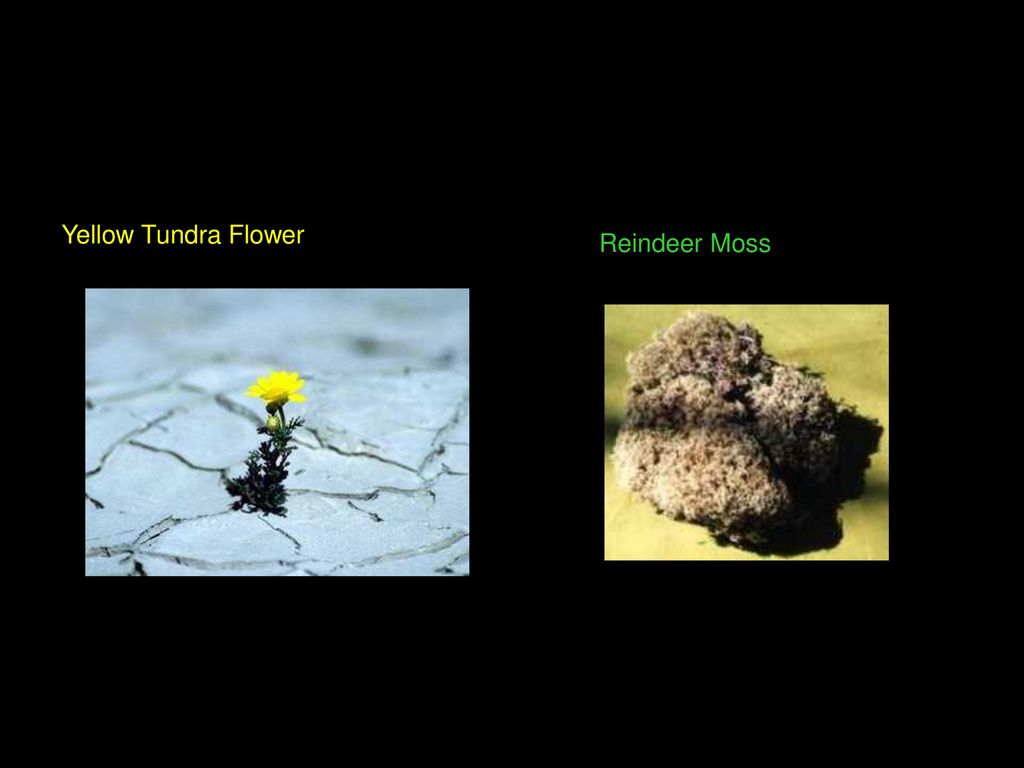 The 6 biomes by cole hayes ppt download 5 yellow tundra flower reindeer moss mightylinksfo