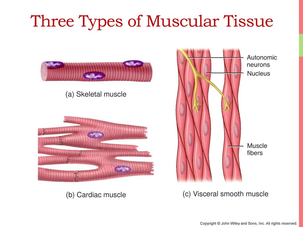 Luxury Anatomy Muscle Tissue Photo - Physiology Of Human Body Images ...