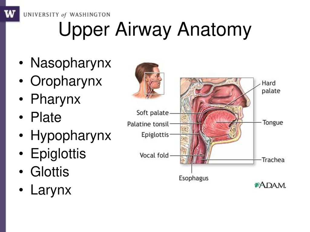 Exelent Anatomy Of The Upper Airway Component Human Anatomy Images