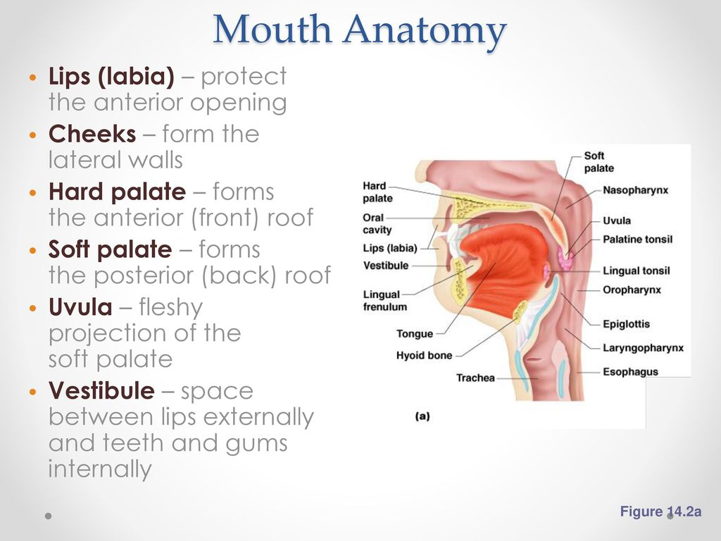 Outstanding Mouth Anatomy Frenulum Ensign - Anatomy and Physiology ...