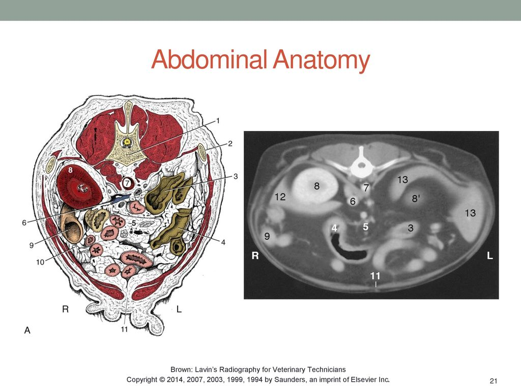 Fancy Anatomy And Physiology For Veterinary Technicians Model ...
