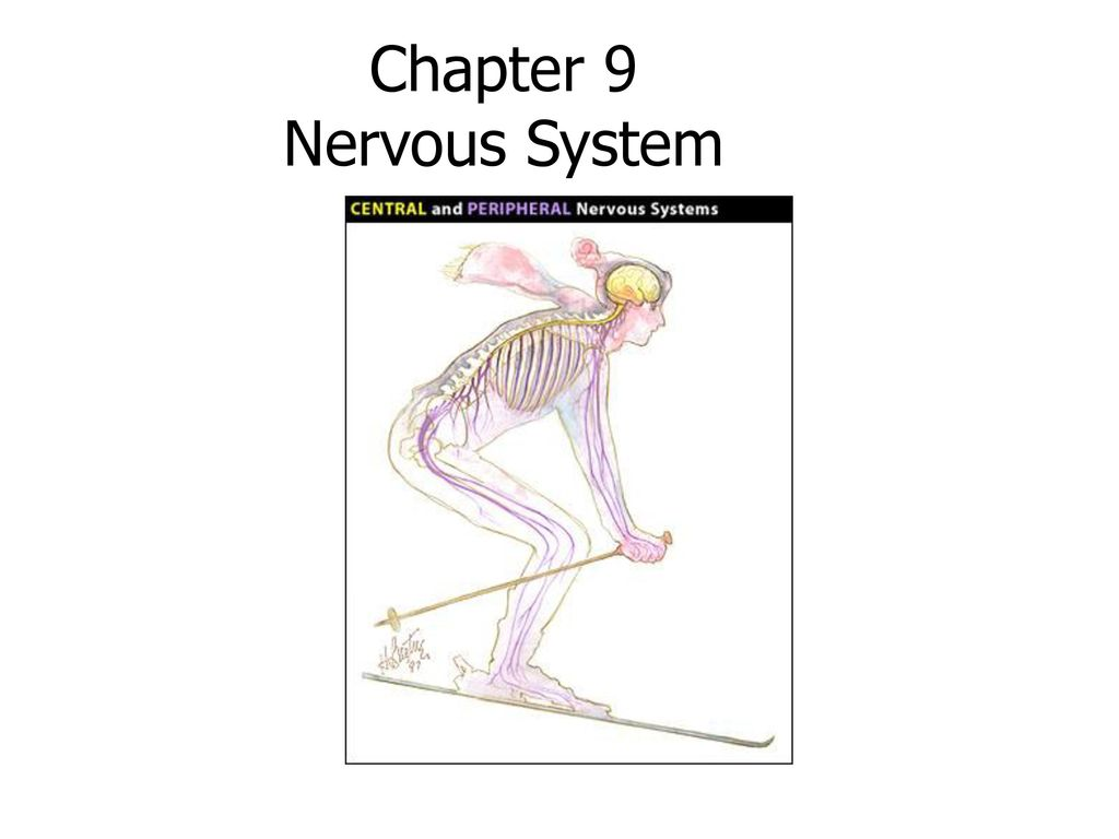 Excepcional Anatomy And Physiology Chapter 9 Nervous System Motivo ...