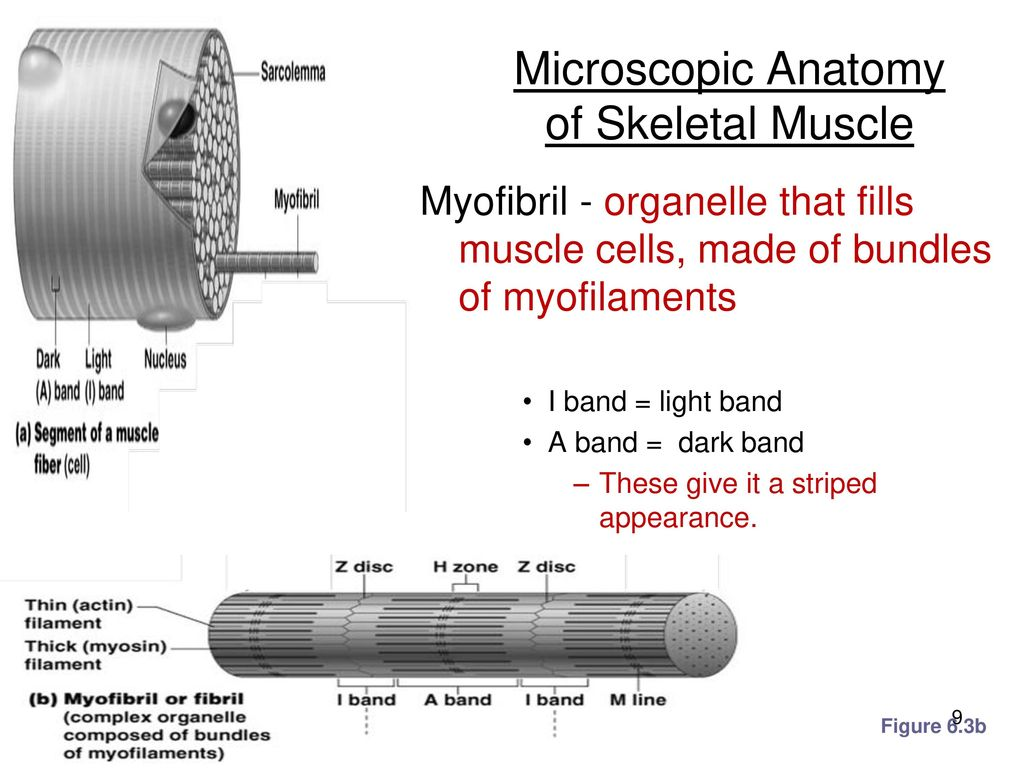 Contemporary Microscopic Anatomy Of Skeletal Muscle Worksheet