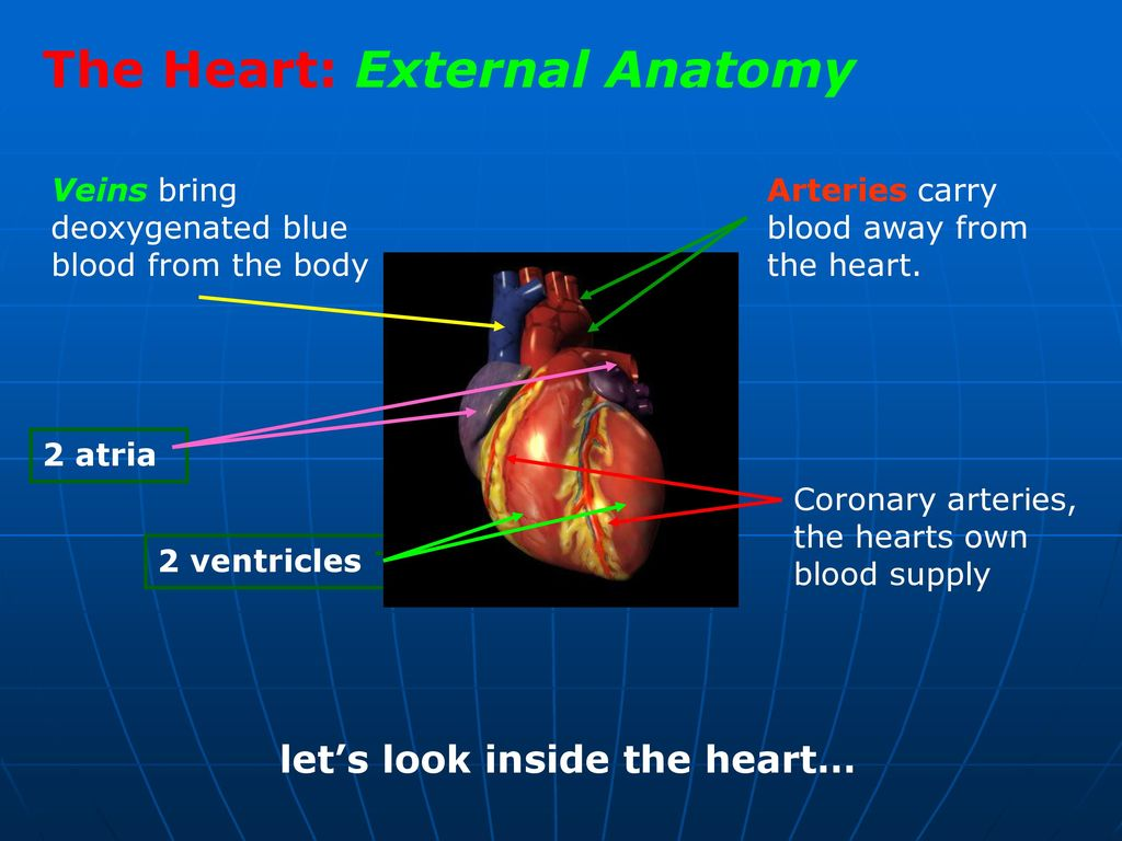 Heart External Anatomy Gallery - human body anatomy