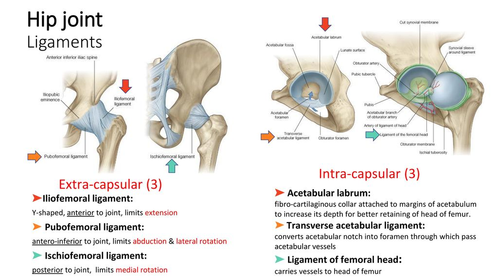Awesome Ischiofemoral Ligament Model - Human Anatomy Images ...