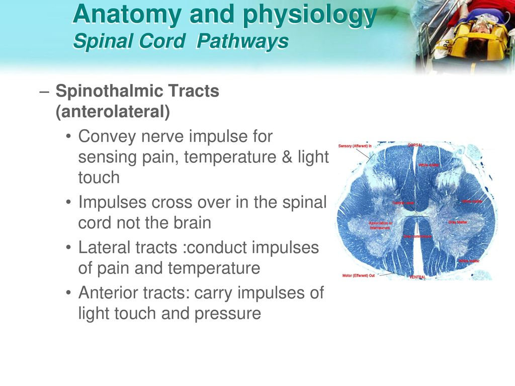 Modern Spinal Cord Anatomy And Physiology Ideas - Physiology Of ...