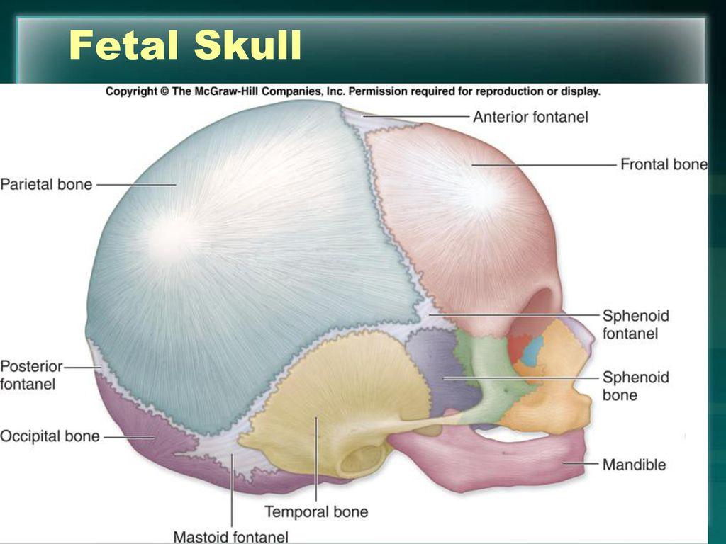 Contemporary Fetal Skull Anatomy Ideas - Anatomy Ideas - yunoki.info