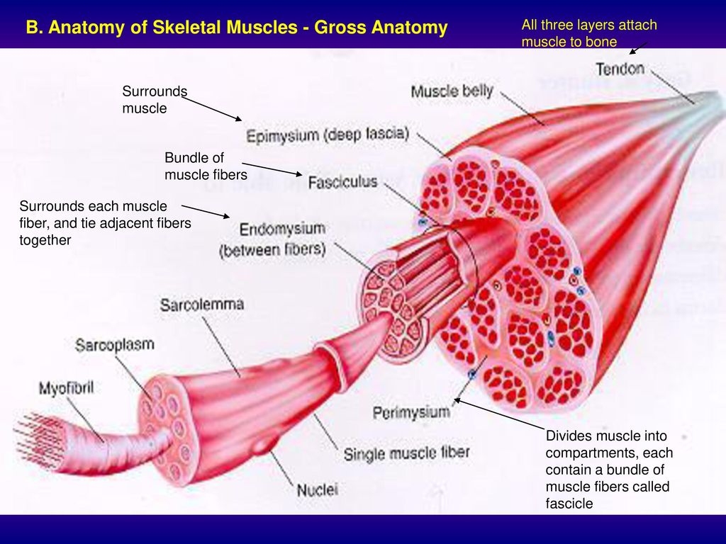Unique Muscle Gross Anatomy Images Human Anatomy Images