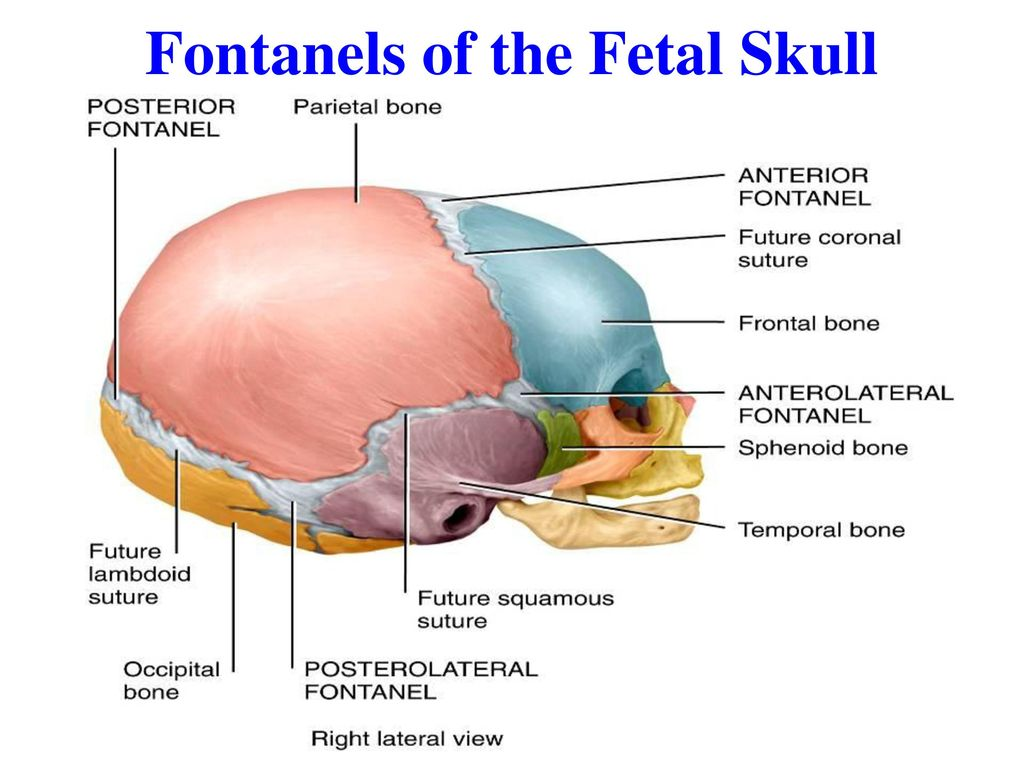 Unique Anatomy Of The Fetal Skull Gallery - Physiology Of Human Body ...