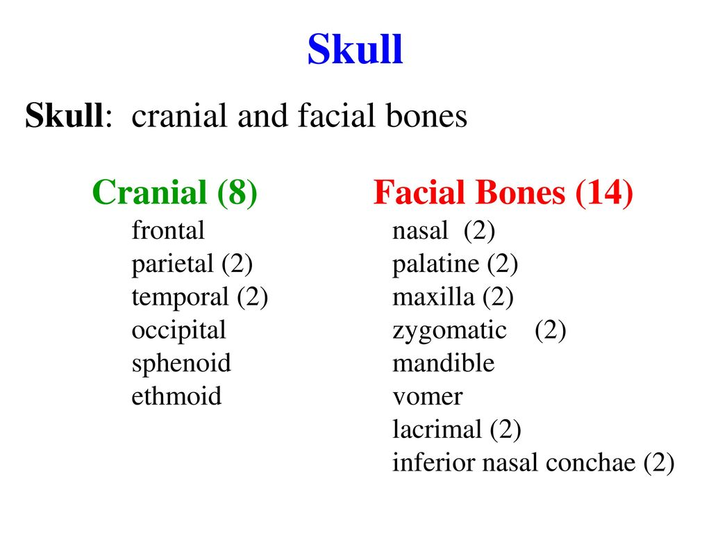 the axial skeleton review sheet exercise 8