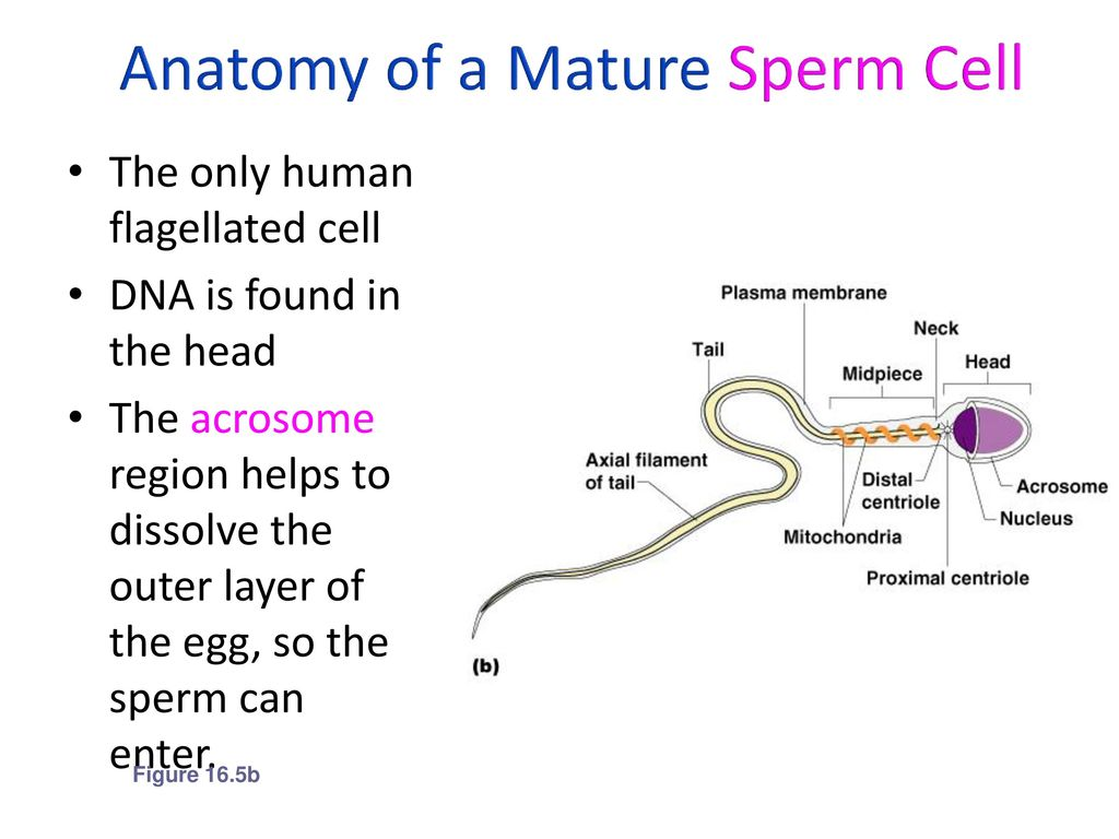 Awesome Anatomy Of Sperm Cell Frieze Physiology Of Human Body
