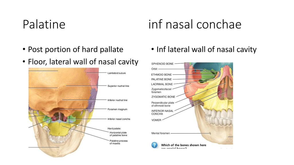 Perfect Nasal Conchae Photo - Anatomy Ideas - yunoki.info