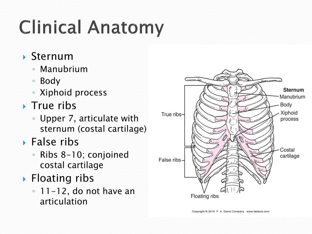Outstanding Anatomy Of Sternum And Ribs Photos - Human Anatomy ...