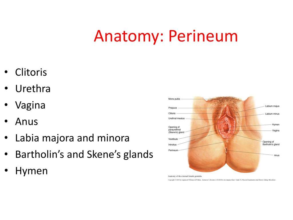Beautiful Labia Minora Anatomy Adornment Human Anatomy Images