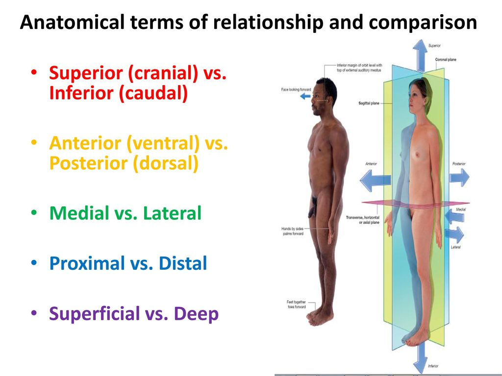 Unique Caudal Definition Anatomy Frieze - Physiology Of Human Body ...