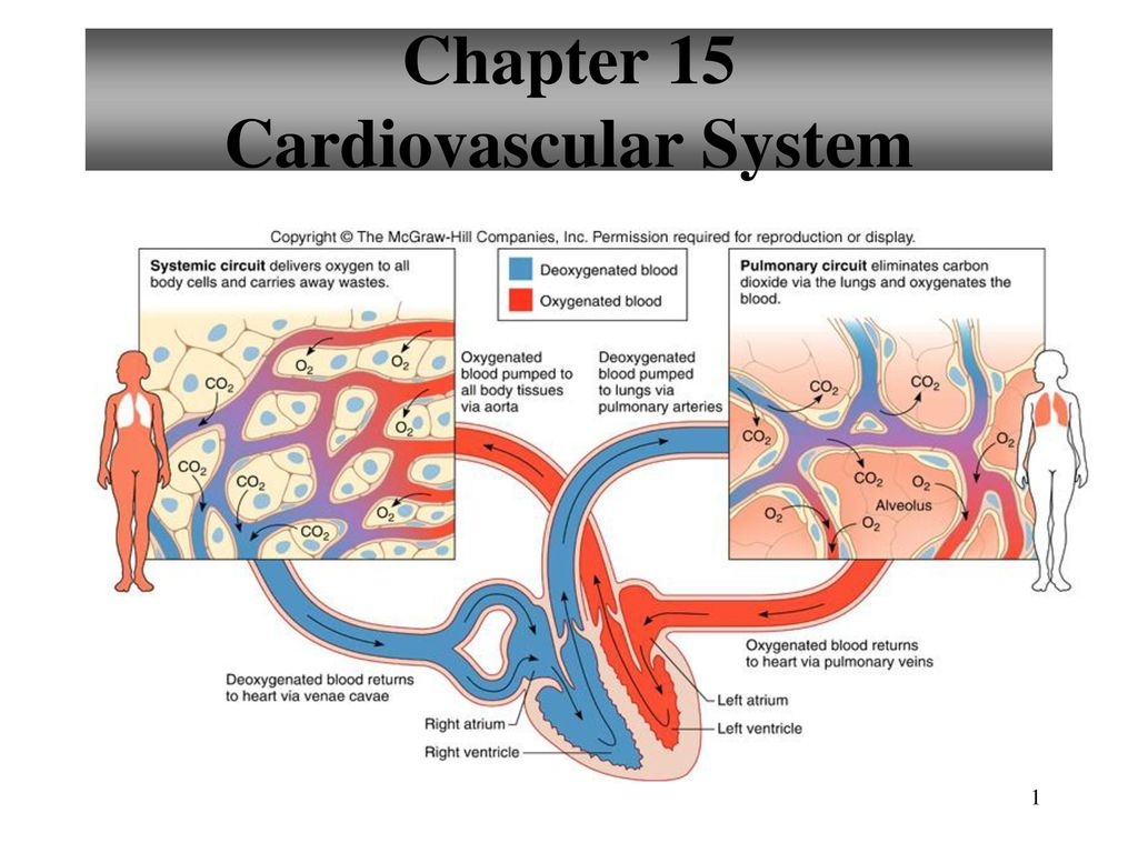 Unique Chapter 15 Anatomy And Physiology Model - Physiology Of Human ...