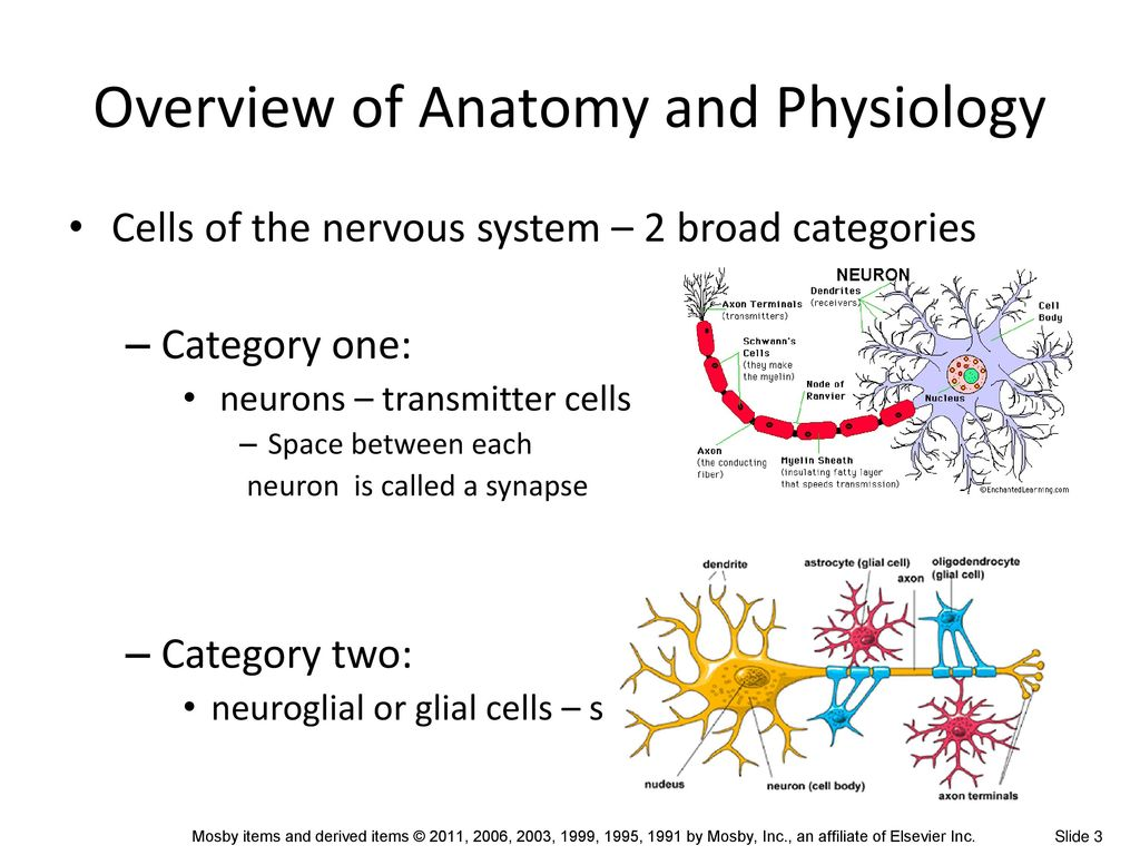 Attractive Neuron Anatomy And Physiology Review Sheet Exercise 13 ...