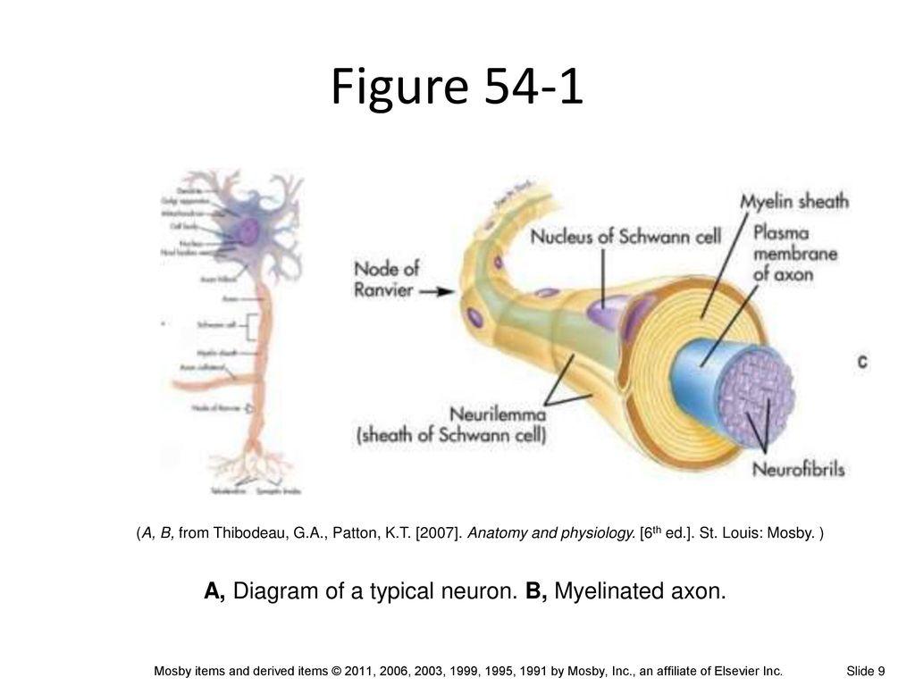 Gemütlich Mosby Anatomy And Physiology Bilder - Physiologie Von ...