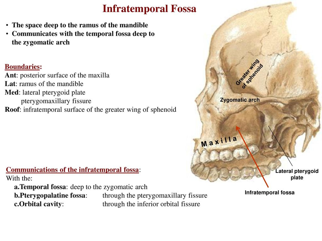 Perfect Temporal Fossa Anatomy Photo - Physiology Of Human Body ...