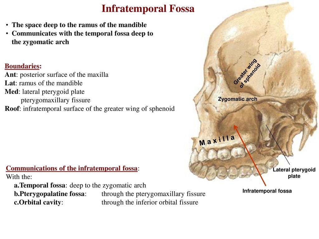 Dorable Temporal Fossa Anatomy Mold Anatomy Ideas Yunokifo