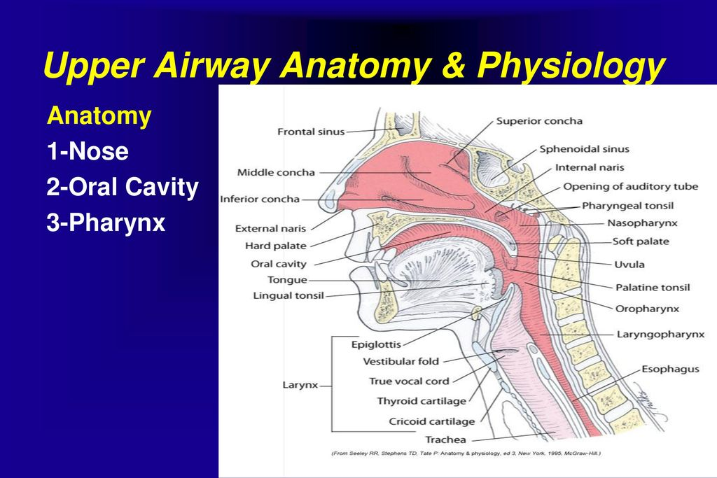 Awesome Human Airway Anatomy Ornament Anatomy And Physiology