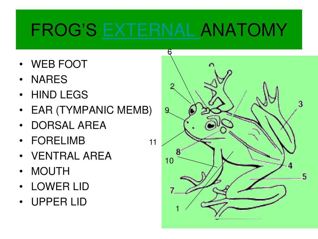 Nice External Anatomy Frog Adornment - Human Anatomy Images ...
