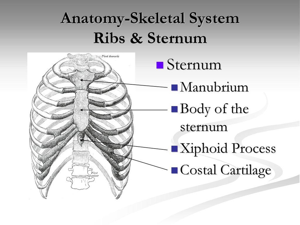 Tolle Diagramm Sternum Fotos - Anatomie Von Menschlichen ...