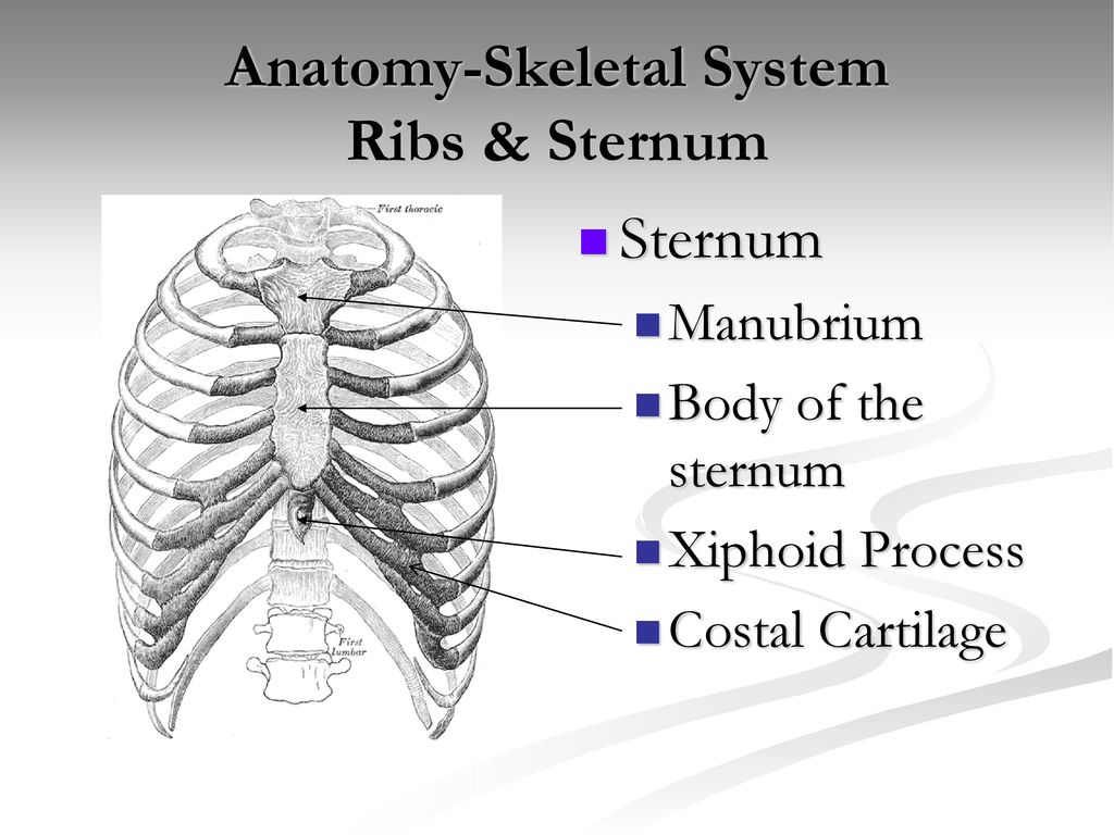 Xiphoid process anatomy