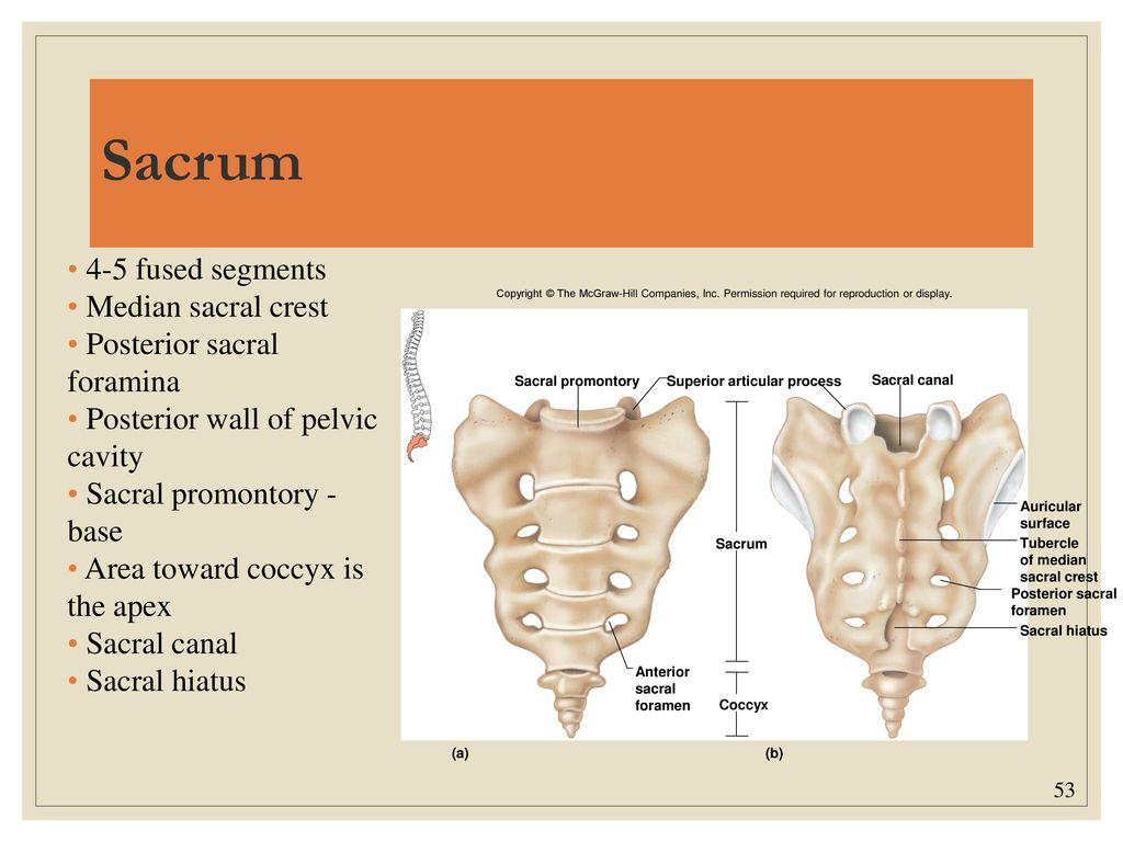 Fantastisch Sacrum Anatomie Fotos - Anatomie Von Menschlichen ...